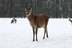 Red Deer on a Cold wintry day in snow. Red Deer on a cold wintry day standing in snow and observe its surrounding Stock Image