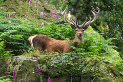 Red Deer Deep in Forest Royalty Free Stock Image