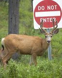 Red deer with do not enter signal. Jasper. Canada Stock Images