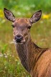 Red deer doe Stock Images