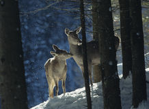 Red deer doe with cub Royalty Free Stock Photo