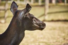 Red deer doe portrait Royalty Free Stock Image