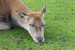 Red deer doe sleeping Royalty Free Stock Photos