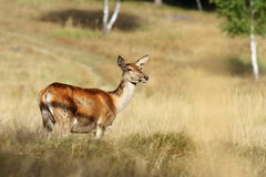 Red deer doe standing in a clearing Stock Images