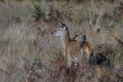 Red Deer Doe with Starling Royalty Free Stock Photography