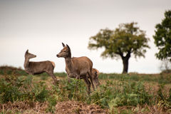 Red deer does during rutting season. Royalty Free Stock Photography