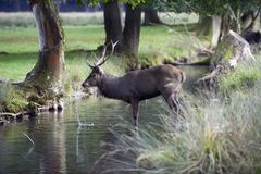 Red deer drinking Royalty Free Stock Images