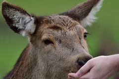 Red deer eating from a persons hand. Close up head shot of a tame red deer eating food from a persons hand Royalty Free Stock Photos