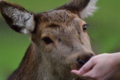 Red deer eating from a persons hand. Close up head shot of a tame red deer eating food from a persons hand Stock Image