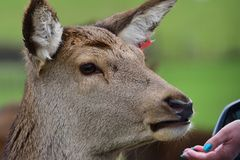 Red deer eating from a persons hand. Close up head shot of a tame red deer eating food from a persons hand Royalty Free Stock Photo