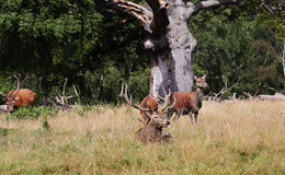 Red Deer in an English Park Royalty Free Stock Photos