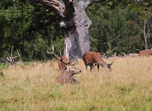 Red Deer in an English Park Stock Photography