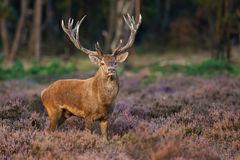 Red Deer in evening Sun. A Red Deer in evening Sun royalty free stock photos