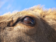 Red Deer eye detail Royalty Free Stock Image