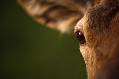 Red Deer eye. The picture was taken in Hungary Stock Photo