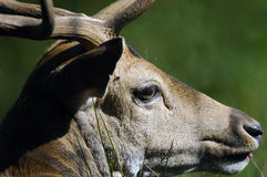 Red deer face. Close up on the head of a red deer royalty free stock photography