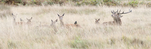Red Deer Family in Long Grass Royalty Free Stock Photography