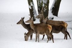 Red deer with family in the wild. In winter Stock Image