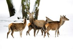 Red deer with family in the wild. In winter Royalty Free Stock Images