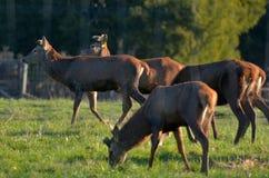 Red Deer in farm Stock Image