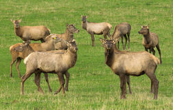 Red deer farming Royalty Free Stock Image