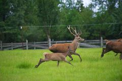 Red Deer and Fawn. Herd of large Red Deer Running in a grassy Field Royalty Free Stock Image