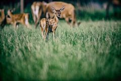 Red deer fawn in meadow. stock image