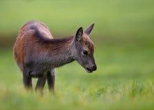 Red Deer Fawn stock photos