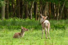 Red deer fawns Stock Photos
