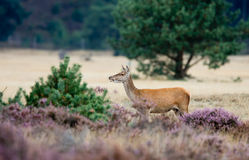 Red deer female Royalty Free Stock Photography