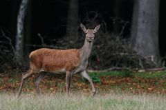 Red deer female, autumn. Red deer female in autumn forest, cervus elaphus Royalty Free Stock Image