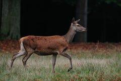 Red deer female, autumn. Red deer female in autumn forest, cervus elaphus Stock Photos