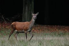 Red deer female, autumn Royalty Free Stock Image