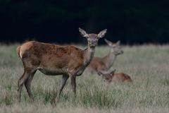 Red deer female, autumn Stock Images