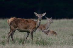 Red deer female, autumn. Red deer female on the meadow, autumn, cervus elaphus Stock Images