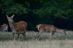 Red deer female with calf, autumn. Red deer female with calf in autumn forest, cervus elaphus Stock Photos