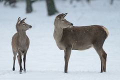 Red deer female with calf, winter. Cervus elaphus Royalty Free Stock Image
