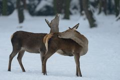 Red deer female with calf, winter Royalty Free Stock Images