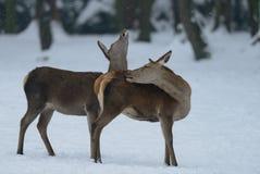 Red deer female with calf, winter. Cervus elaphus Royalty Free Stock Images