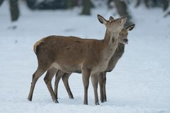Red deer female with calf, winter. Red deer female with calf in the winter forest, cervus elaphus Stock Photography