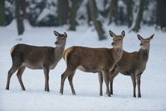 Red deer female group, winter. Cervus elaphus Royalty Free Stock Image