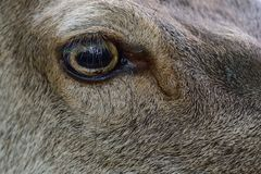 Red deer female head portrait with fly, summer Stock Image