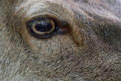 Red deer female head portrait with fly, summer. Cervus elaphus Stock Image