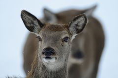 Red deer female head portrait, winter Royalty Free Stock Photos