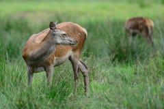 Red deer female looking back, summer. Cervus elaphus Stock Photos