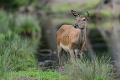 Red deer female is looking, summer Royalty Free Stock Photography