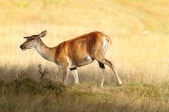 Red deer female on meadow Royalty Free Stock Photos