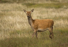 Red Deer Royalty Free Stock Photo