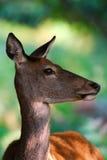 Red deer female portrait. Red deer doe in soft forest light Stock Images