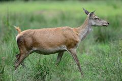 Red deer female stand on the meadow, summer. Cervus elaphus Stock Photography